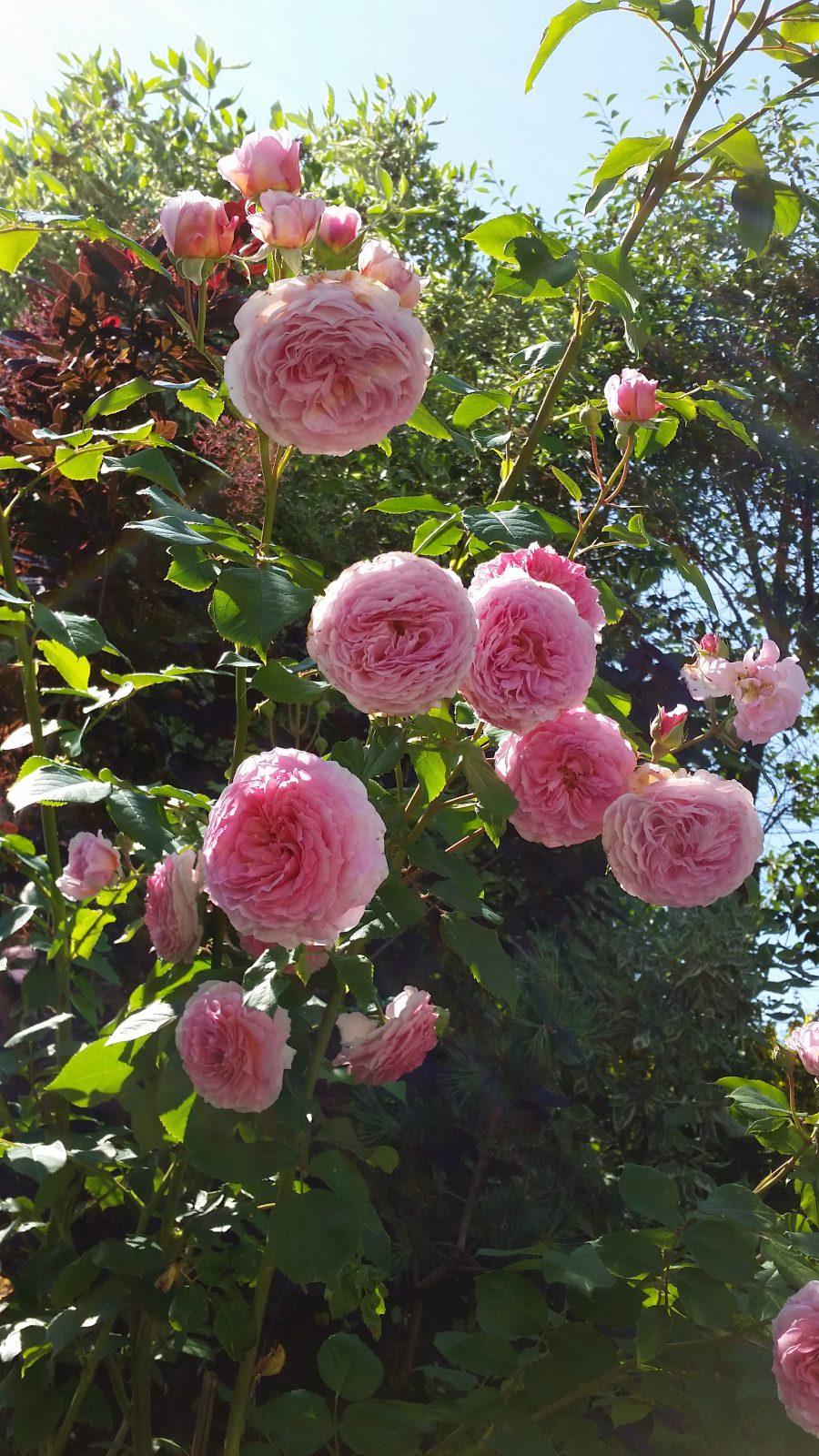 Rose vilskudd