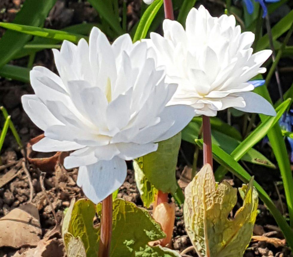 Kanadisk blodurt, tidlig med fjærlette blomster