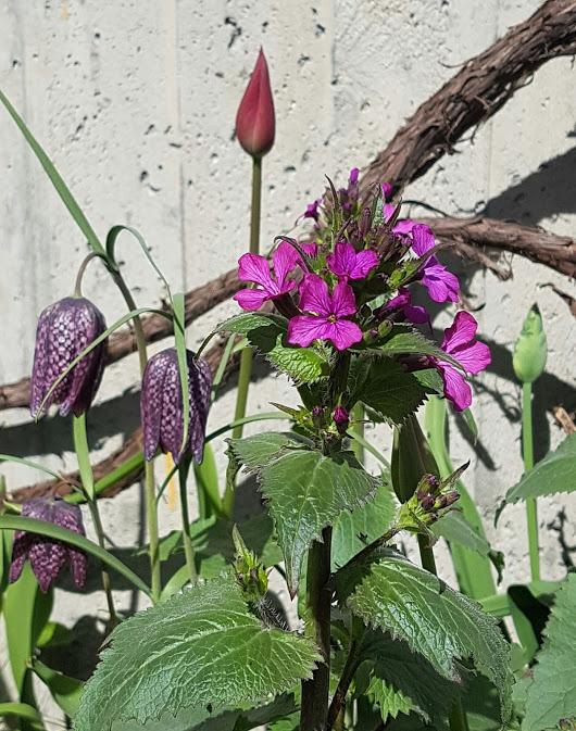 Rutelilje i kombinasjon med Judaspenge og rød tulipan