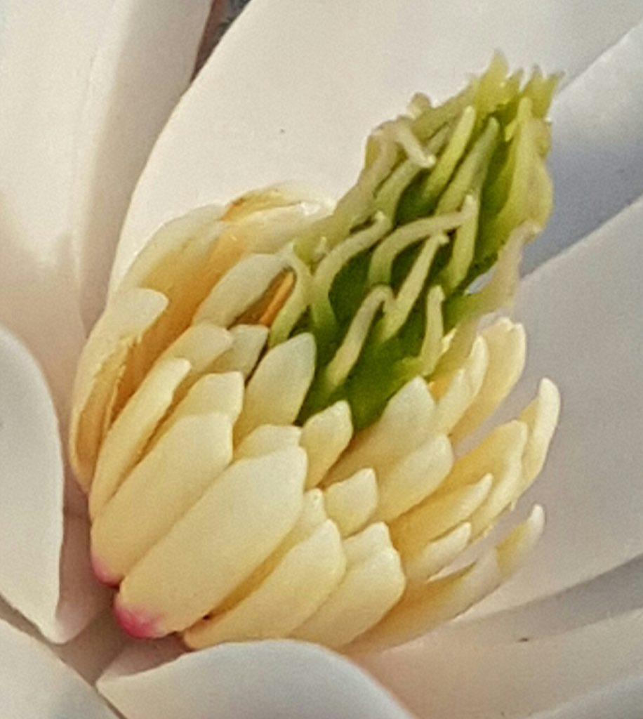 tett på Magnoliaen