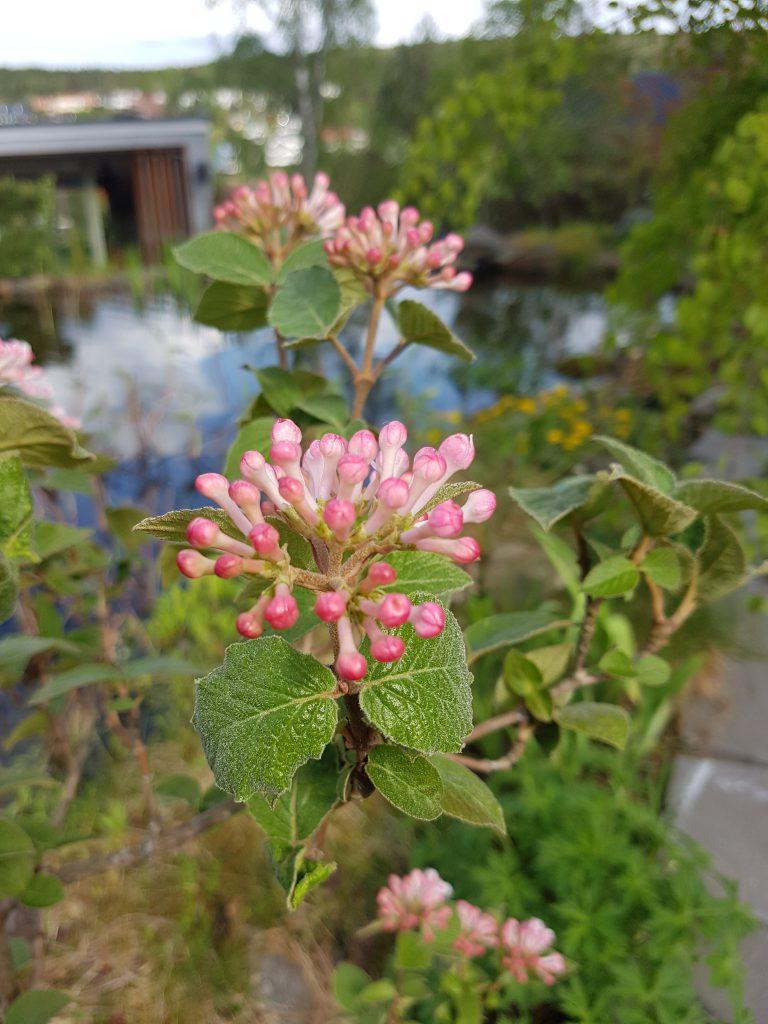 Svakt rosaskjær på knoppene til Koreakrossved