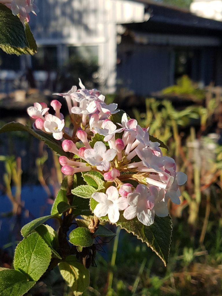 Blomsten blir mer hvite ettersom de åpner seg
