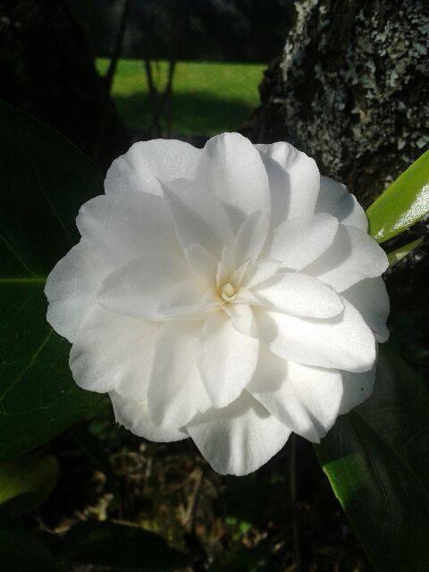 Camellia blomst