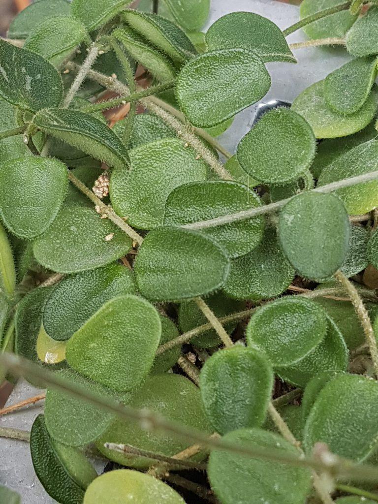 Bladene er små, mørke grønne med grå spetter