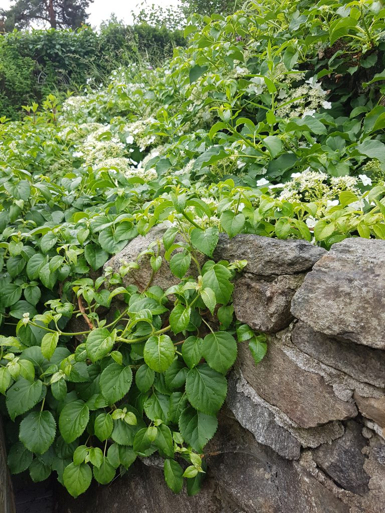 Klatrehortensia klatrer godt på fjell og mur.