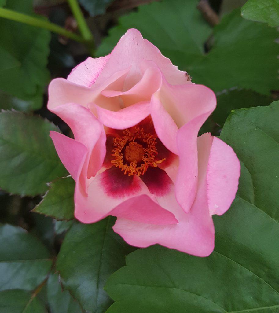 Rosa persica hybrid