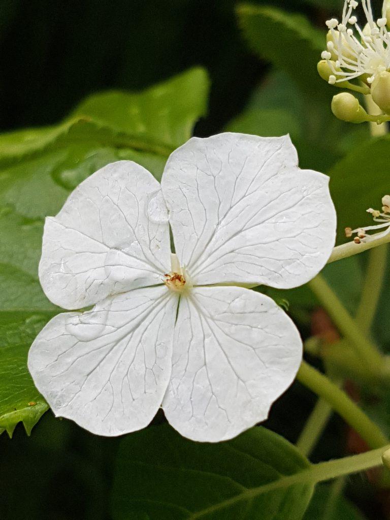 Høyblad på Klatrehortensia. Selve blomsten skimtes til høyre i bildet