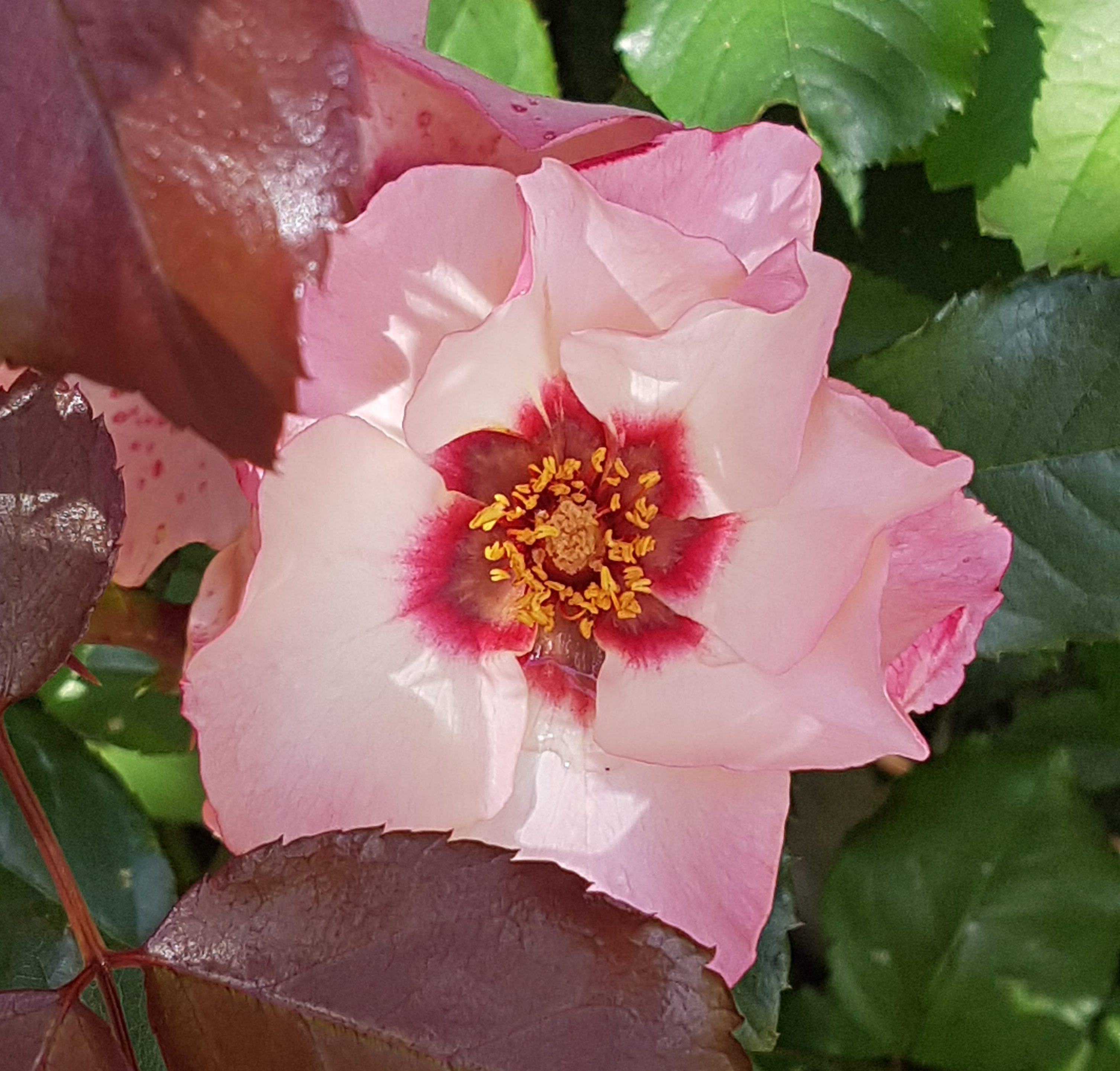 En litt annerledes og remonterende rose.