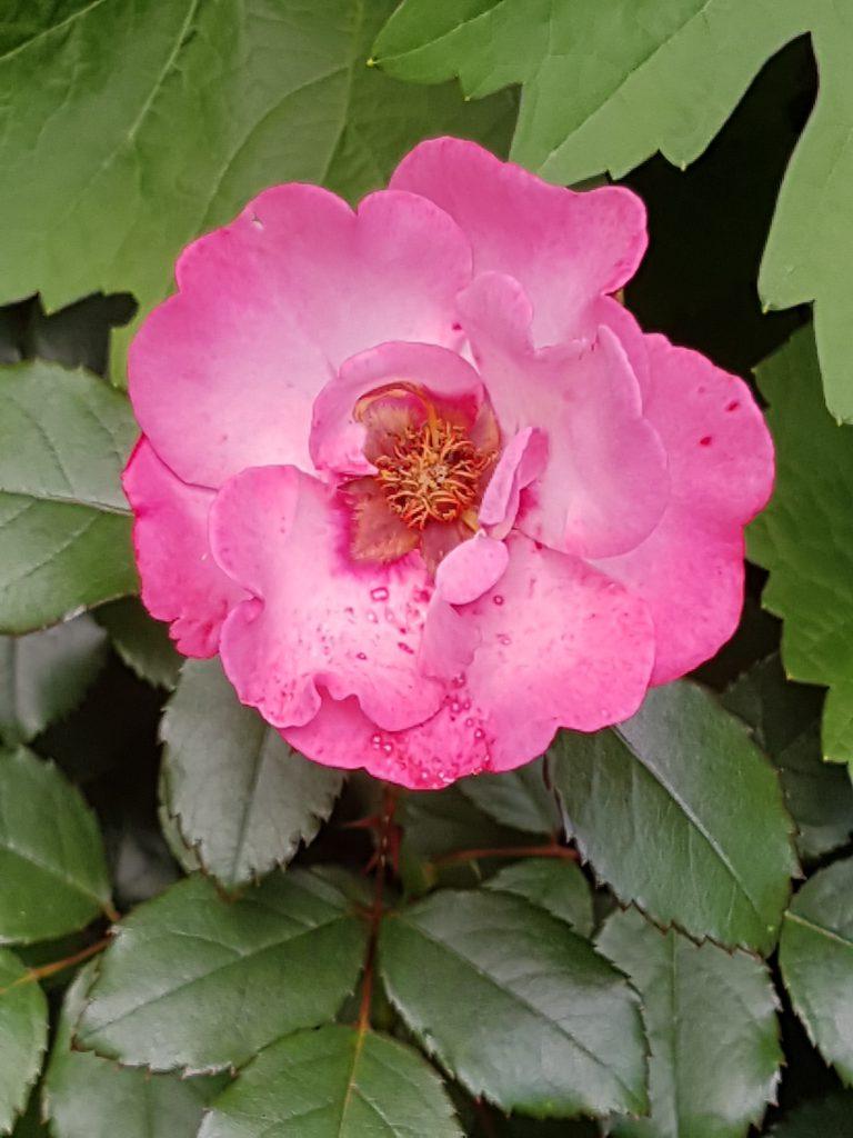Her med litt med rosa på samme busk