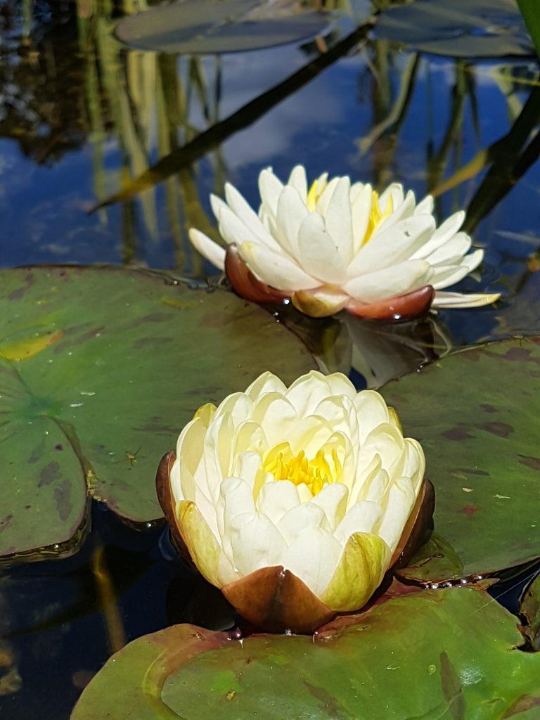 Vannliljen Gonnere ser nesten kunstig ut de den åpner seg med tettfylte blomster mot sola.