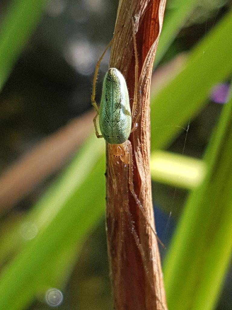 Edderkopp i dammen på et Irisblad