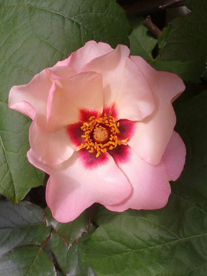 Rose persica