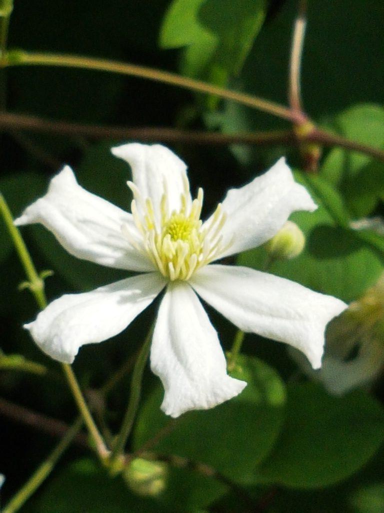 Blomstene til summersnow kommer på stilker med flere knopper. Den starter ganske enkelt som en hvis stjerne. Ca 3 cm i diameter.