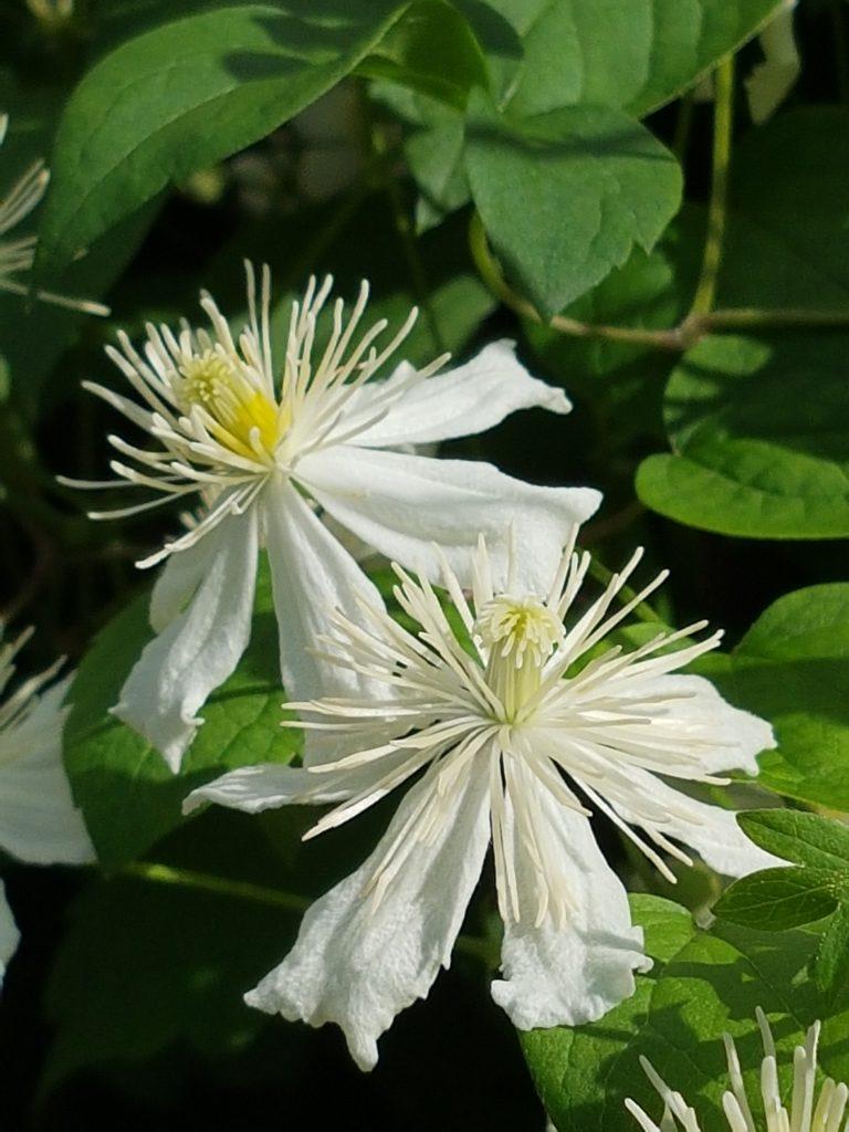 Når blomstene har stått noen dager åpner de seg med en mengde støvbærere.