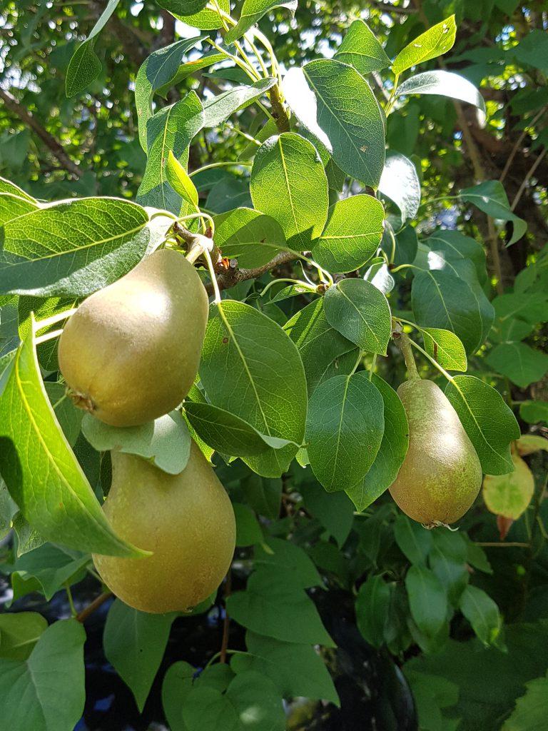 """Pæren """"Anna"""" på 6. året er det endelig kommer ordentlig frukt. Her henger de spredt og fint. Det trengs derfor ingen tynning."""