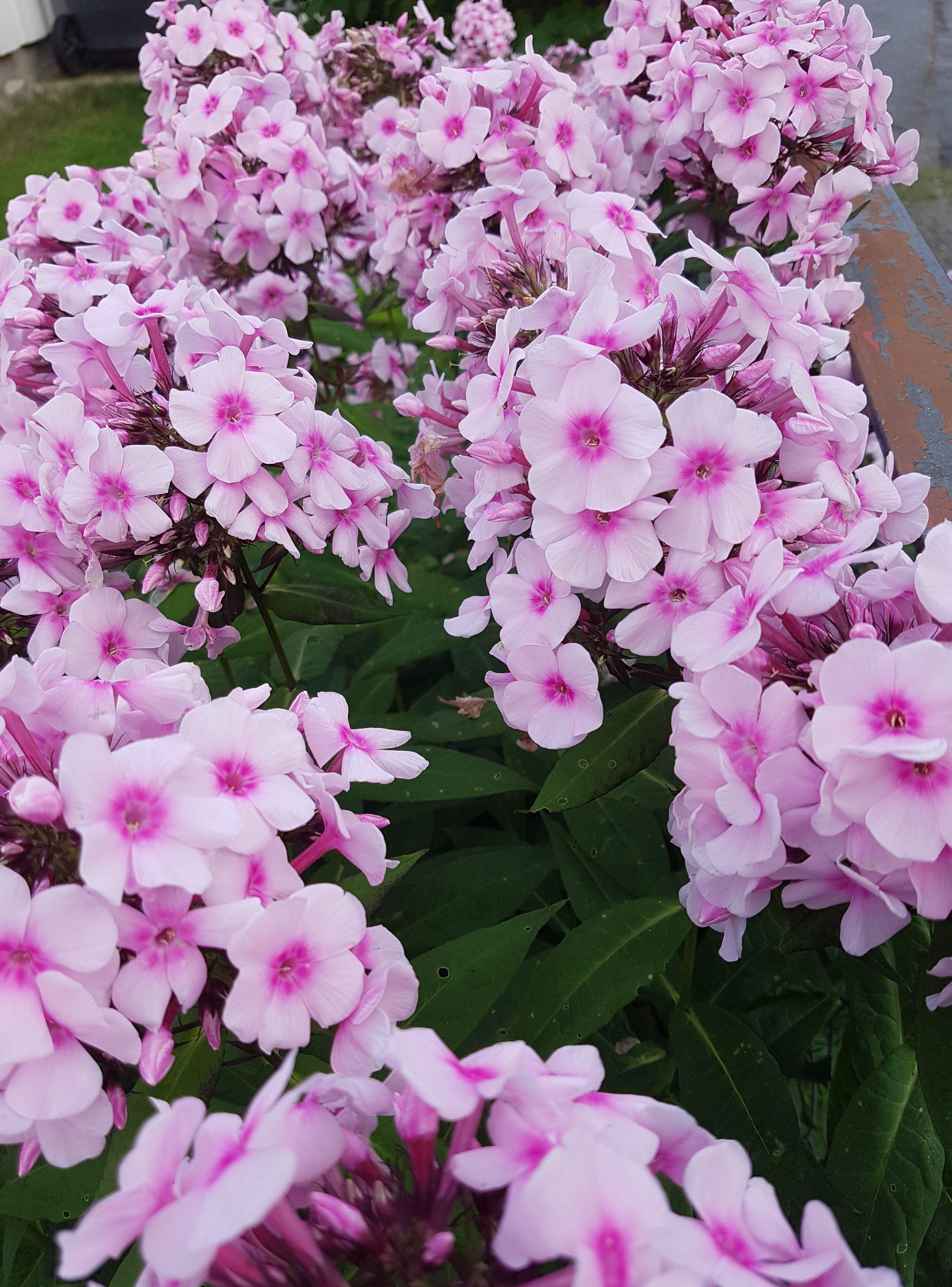 Den ultimate blomsten fra Bestemors hage; Høstfloks.