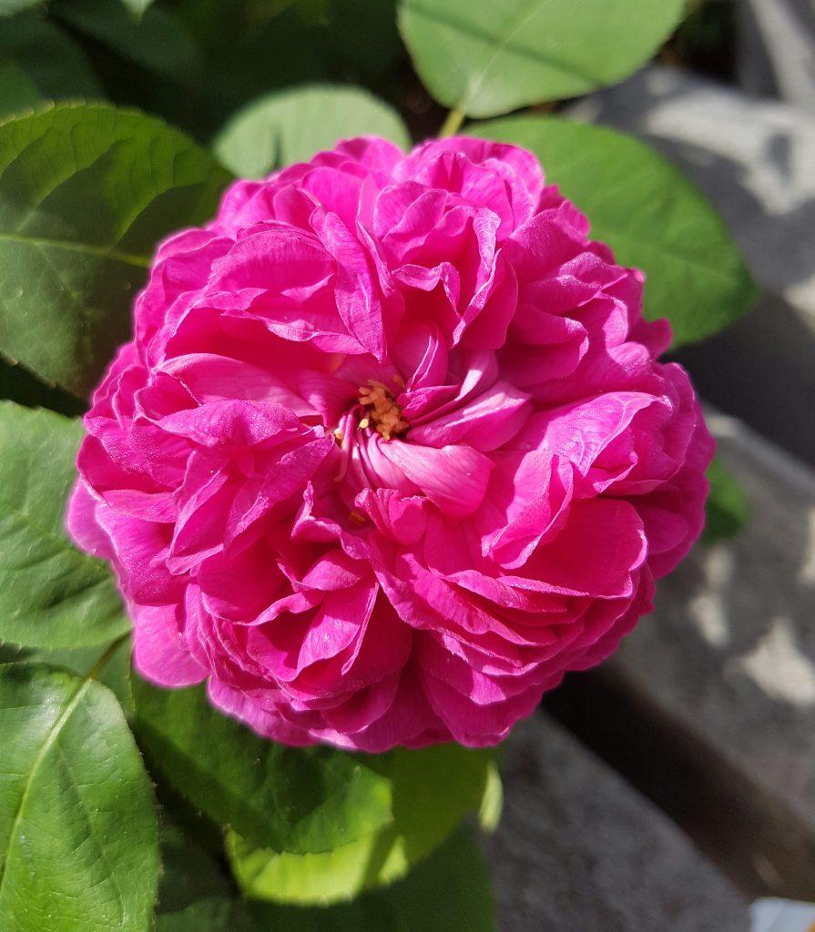 Ikke rart dette er en juvel i hagen. Intens farge og sterk god duft.