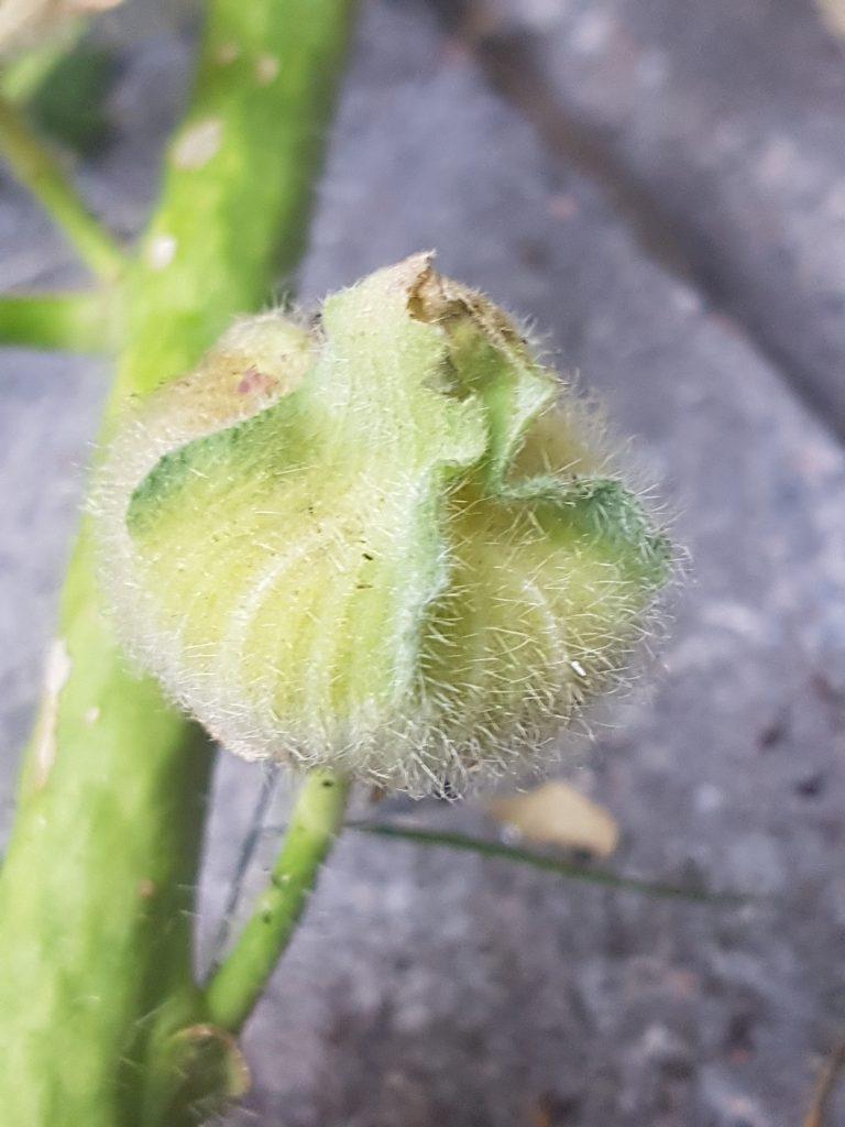 Frøkapsel som modnes, når den er helt brun er frøene delvis løse og kan tas vare på.