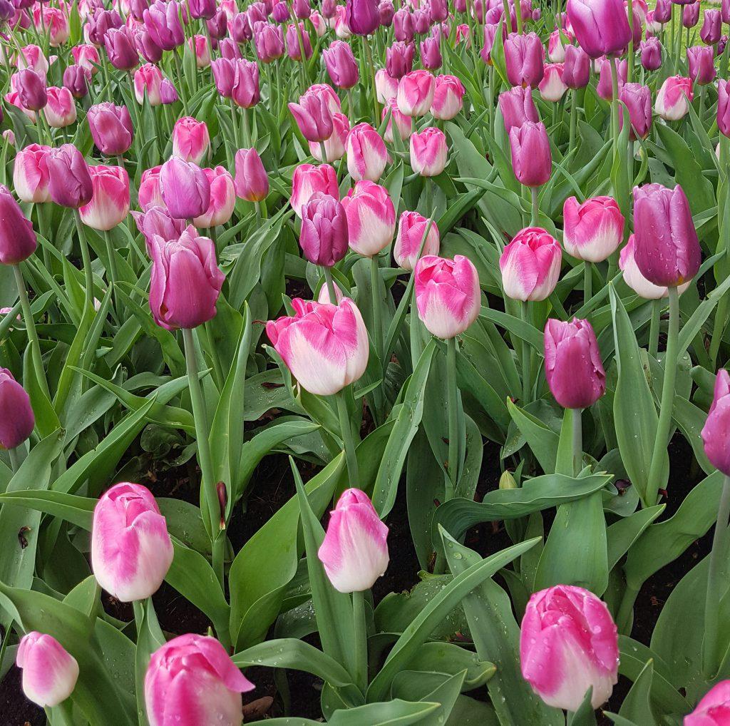 Tulipanhav