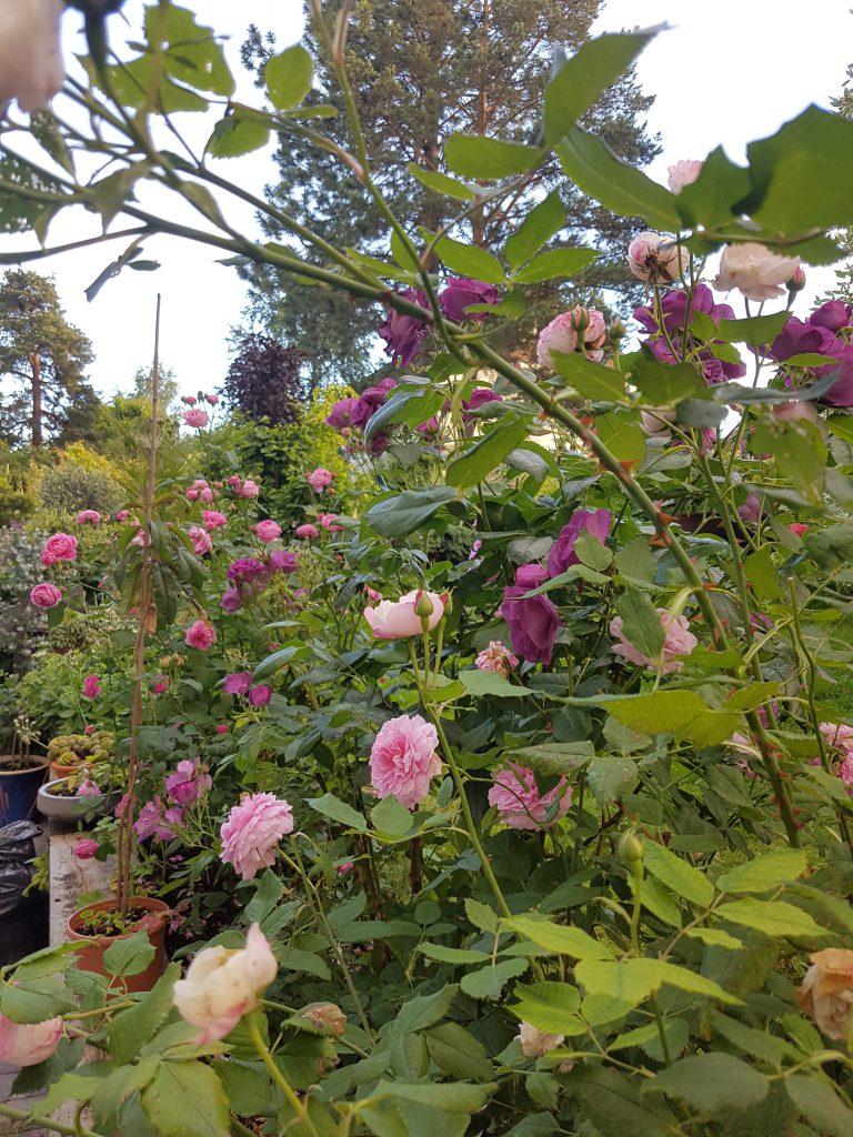 Første blomstringen i det ene rosebedet