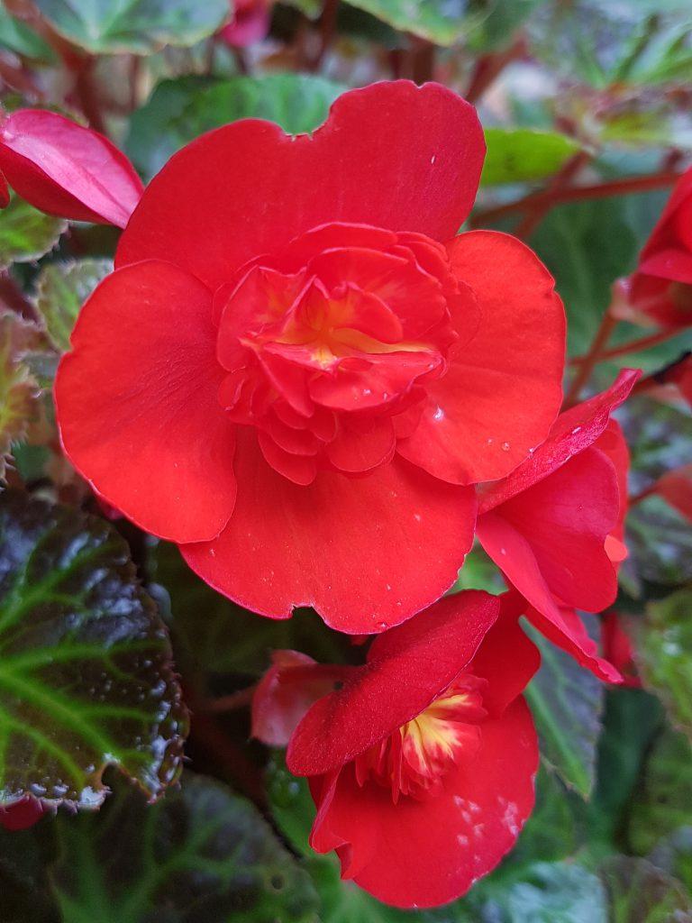 Magisk farge på Begonia multiflora