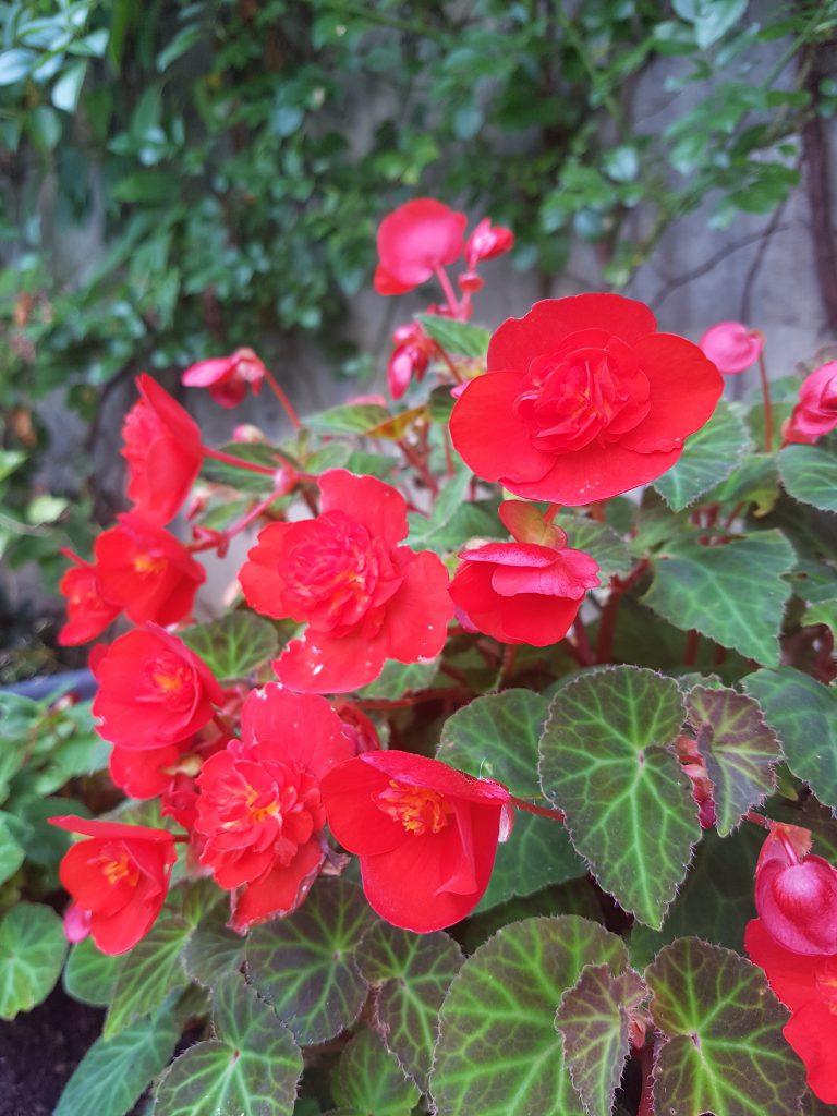 Begonia multiflora er fortsatt i full gang