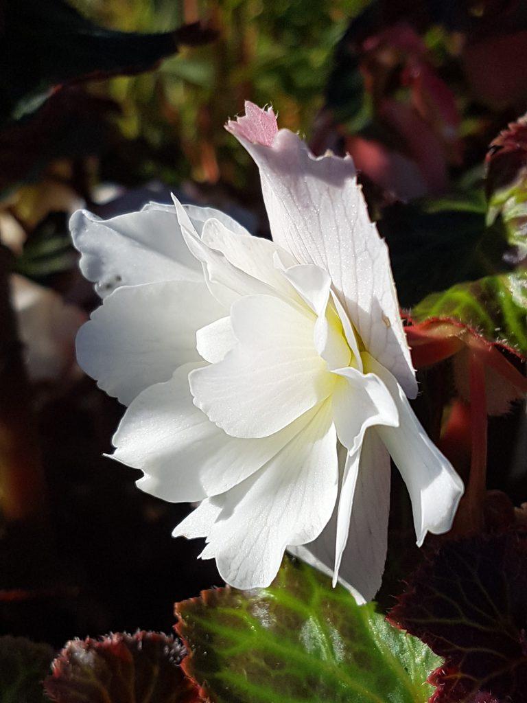 Hengebegonia med fantastiske blomster