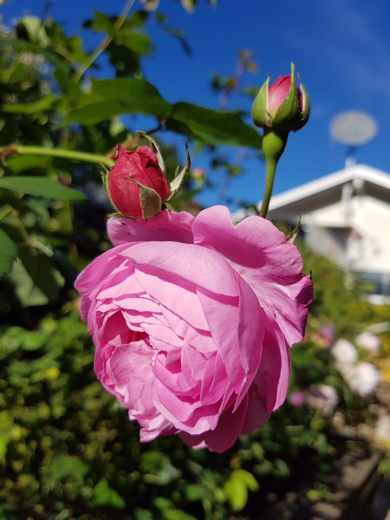 "Rose ""Louise Odier"""