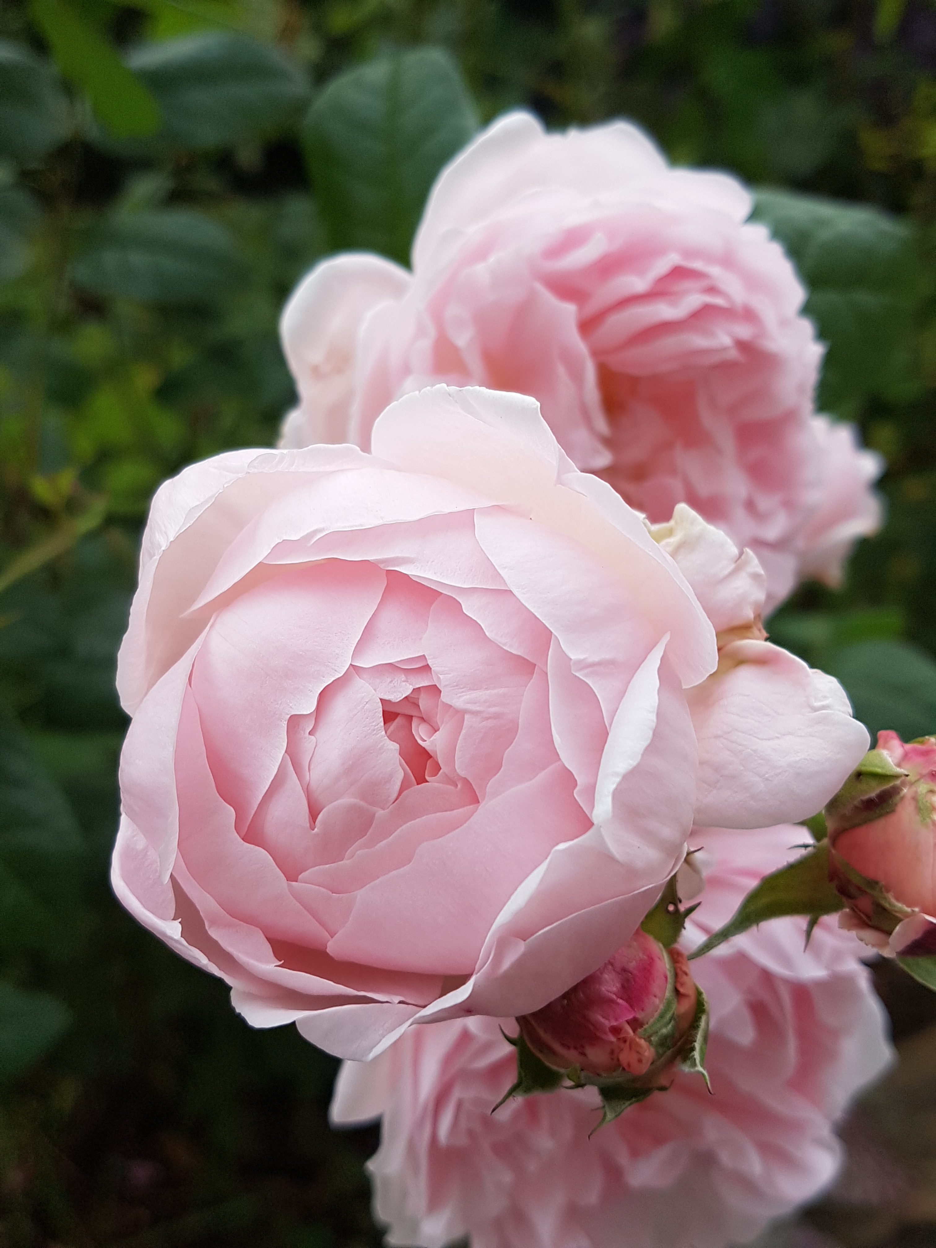 Herlige Austinroser roser som remonterer fortsatt i midten av oktober.