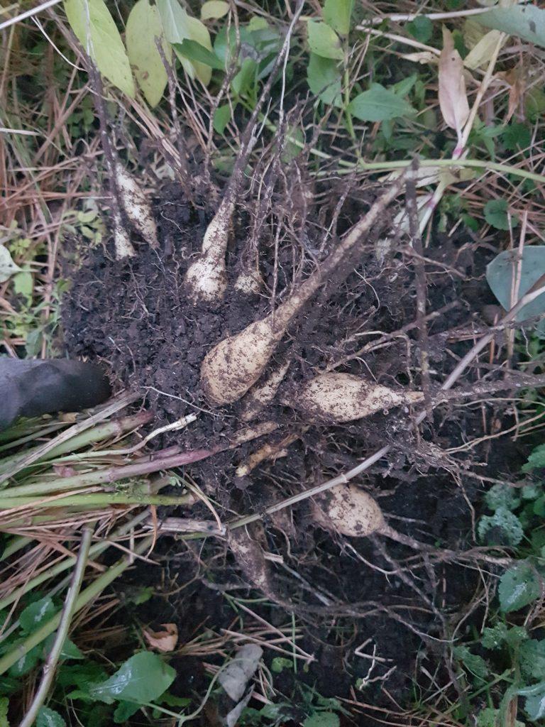 Det er alltid spennende å se hvor mye røttene har utviklet seg. Som å grave etter gull