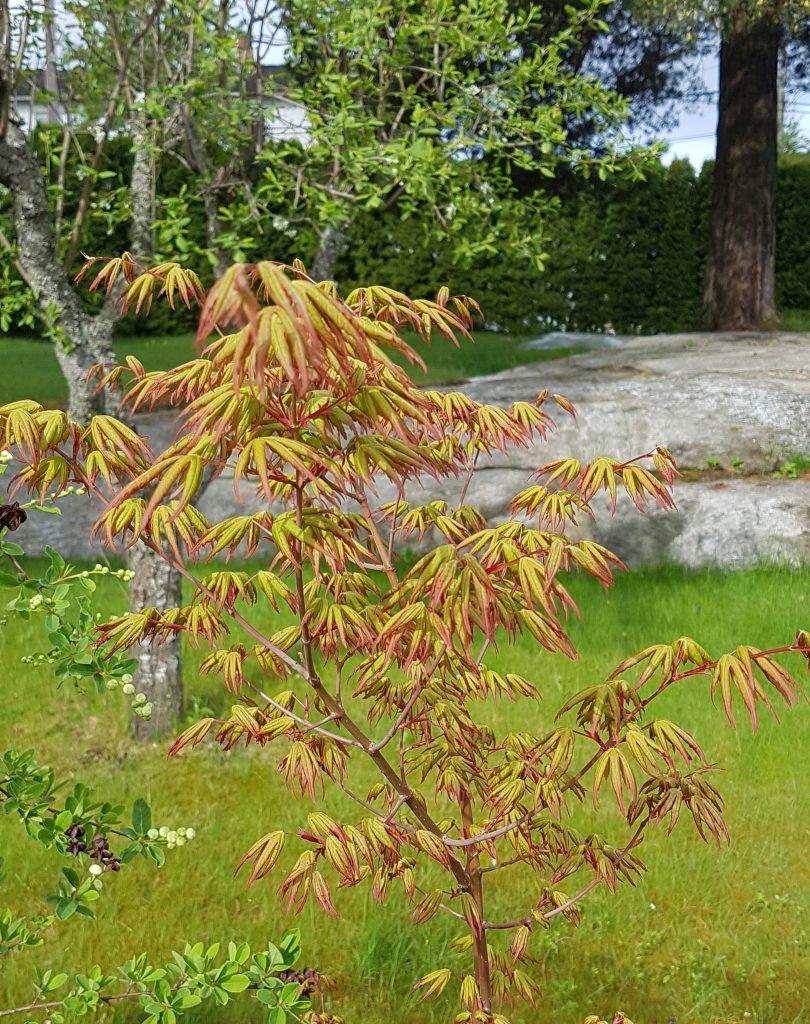 Nyutsprungne dekorative blader med en god del rødt i seg fra tidlig vår