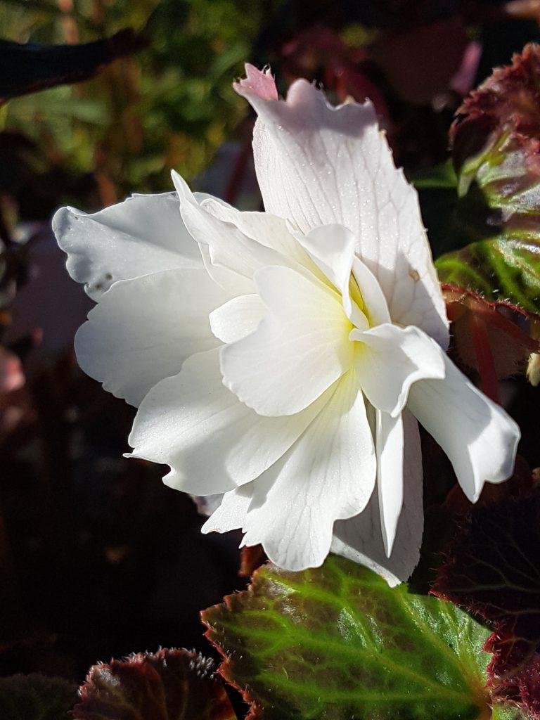 Hengebegonia blomst, store, herlige og spiselige