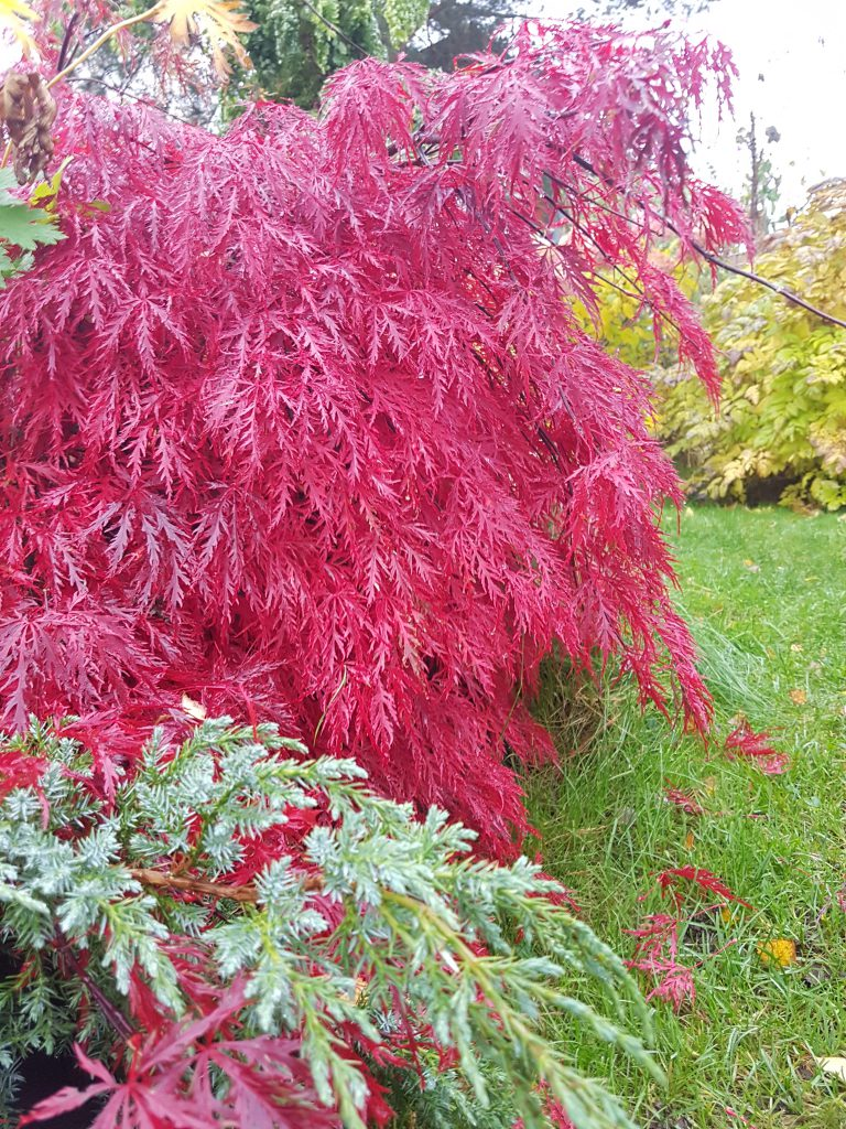 "Høstfargen til A. palmatum ""dissectum"" fra burgunder til flammende rød."