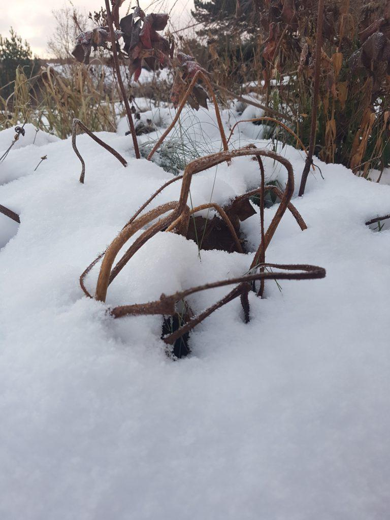 """Skjoldbronseblad med sitt eget """"telt"""" for vinteren"""