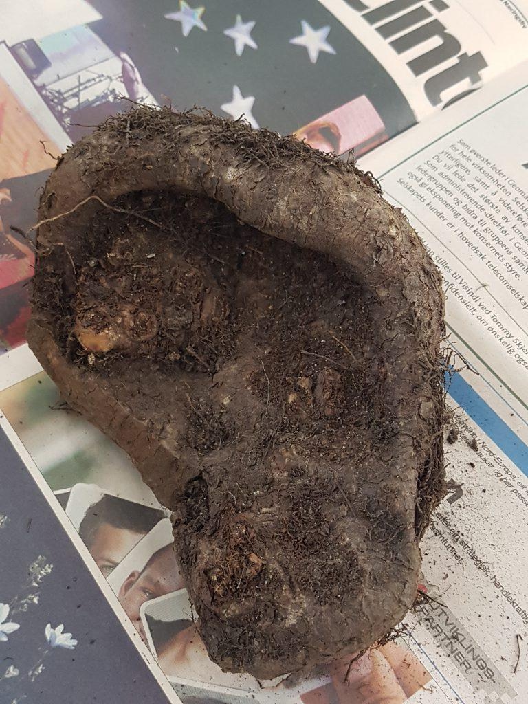 Knollene på Skaugumbegoniaen har hatt en god sommer. Store knoller gir kraftige planter neste år.