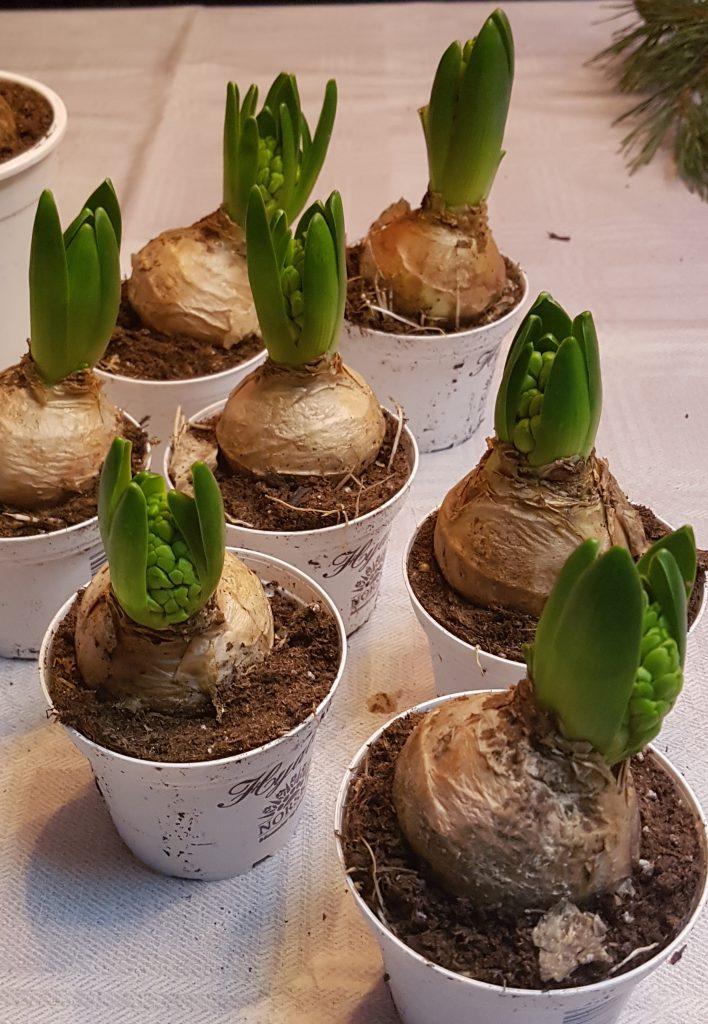 Svibler kommer raskere i blomst men utviklingen styres likefullt av temperaturen