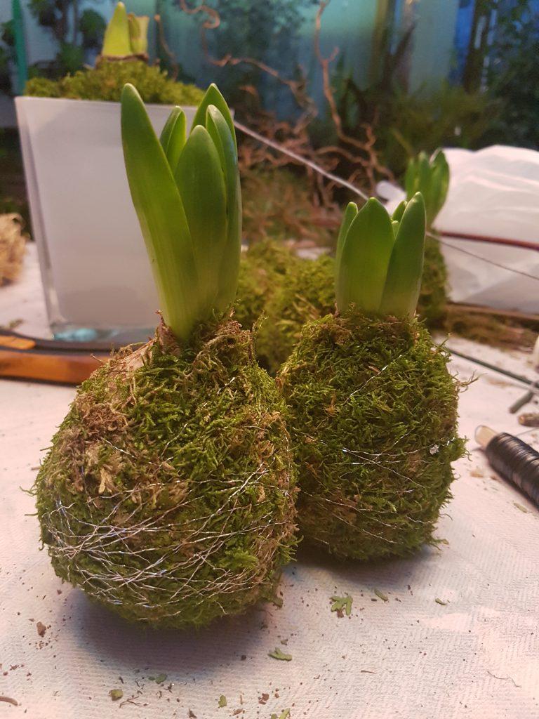 Ferdig kan de plasseres enkeltvis på skåer, settes sammen i grupper eller sammen med andre planter. Vannes på skålen så trekkes det opp i rotklumpen
