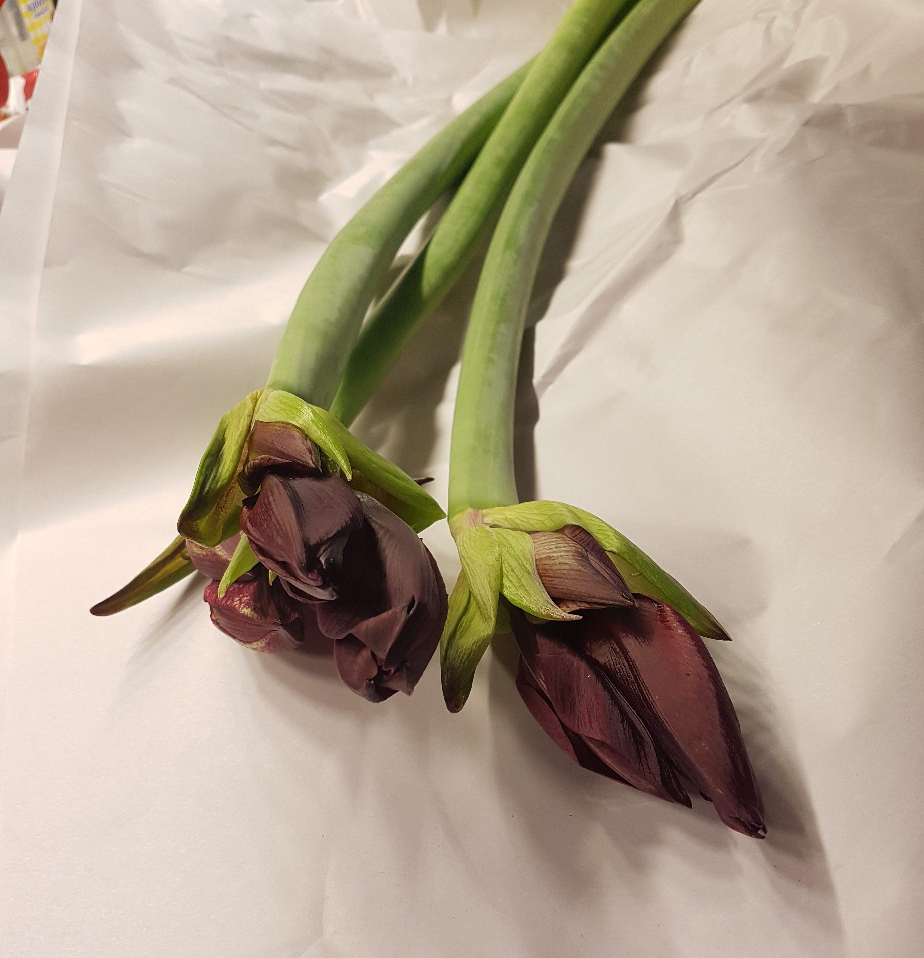 Lenger levetid i vase for Amaryllis med noen enkle tips
