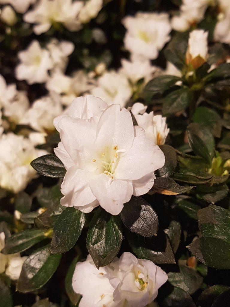 vanne azalea