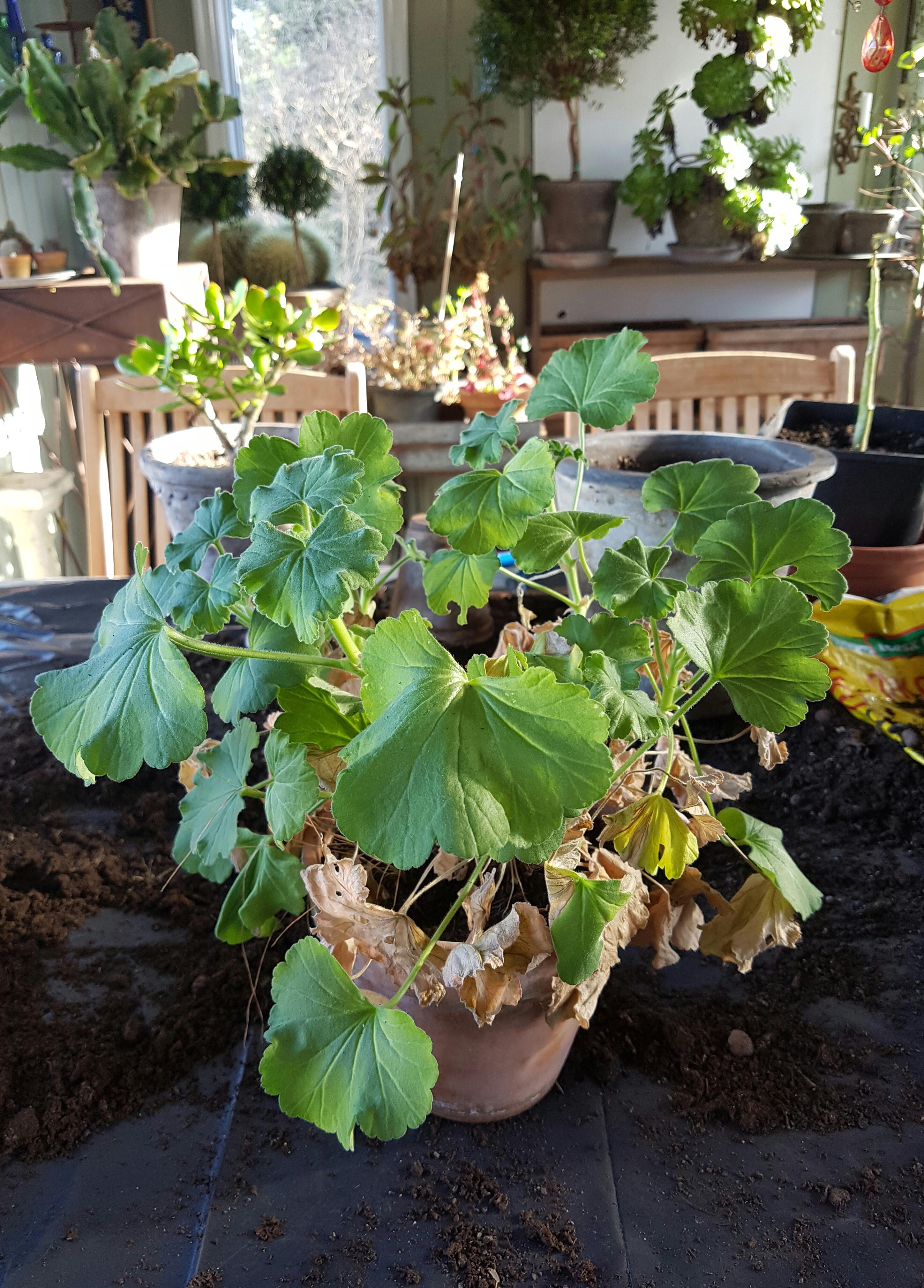Omplanting og tid for å potte om plantene på 1-2-3