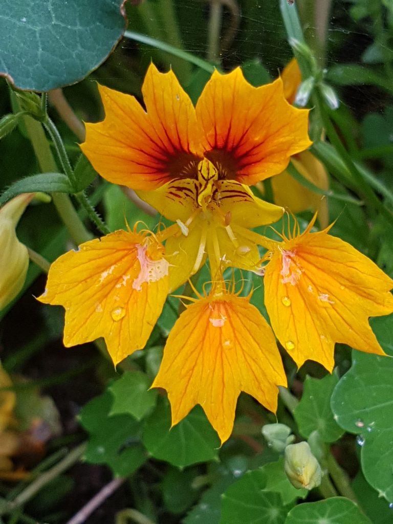 blomkarse Phoenix