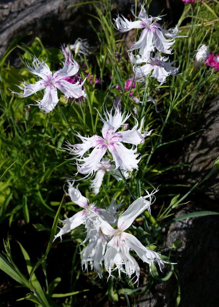 dianthus cinensis nellik