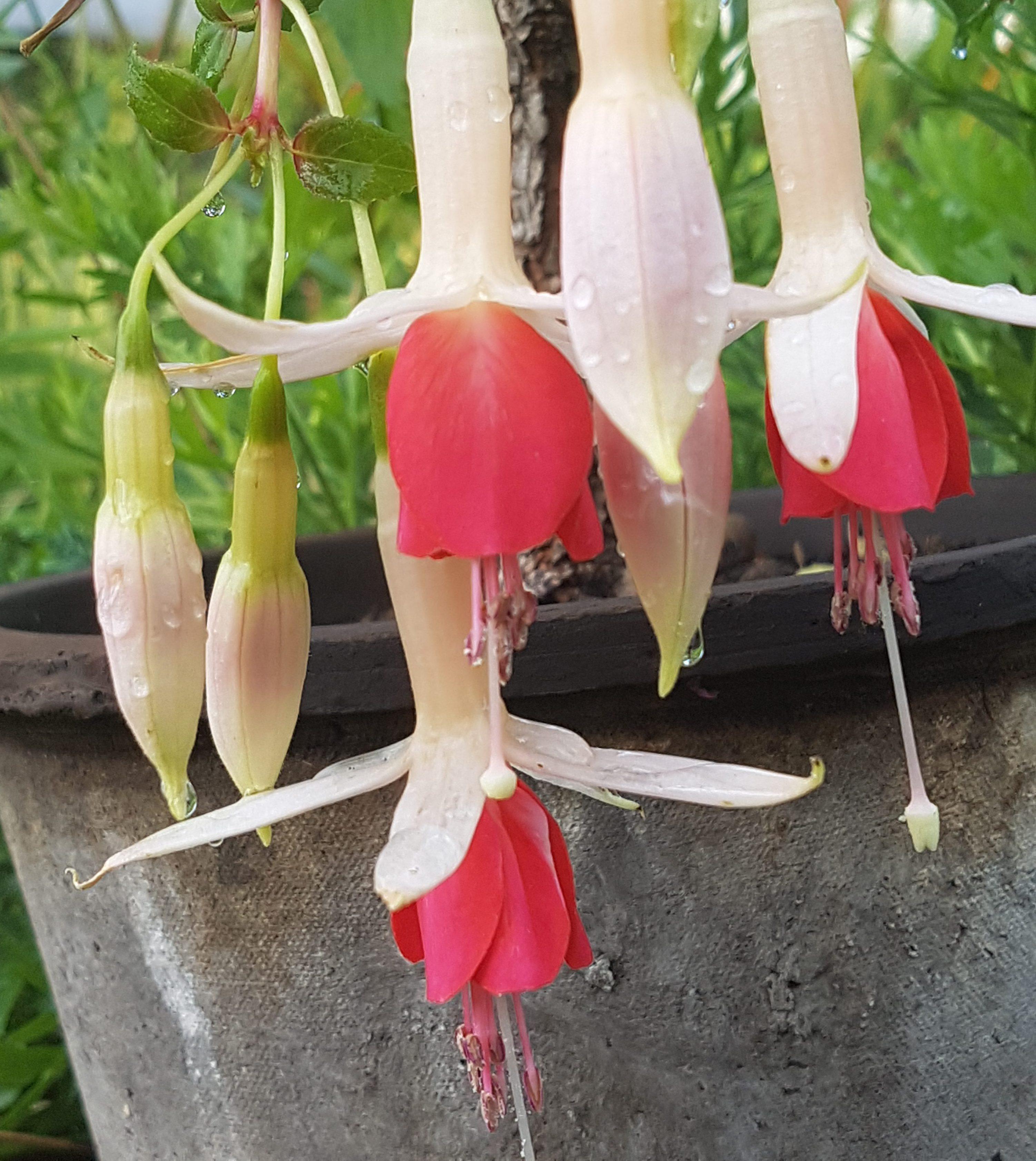 Stiklinger og oppstamming av Fuchsia