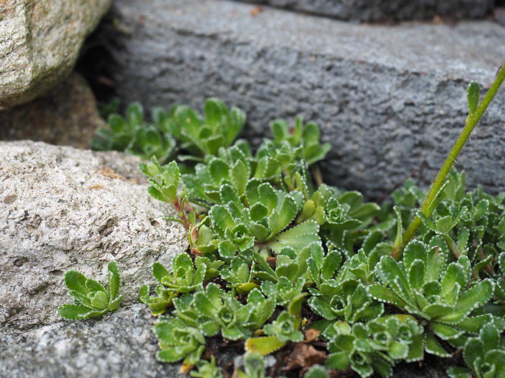 stenbedplante