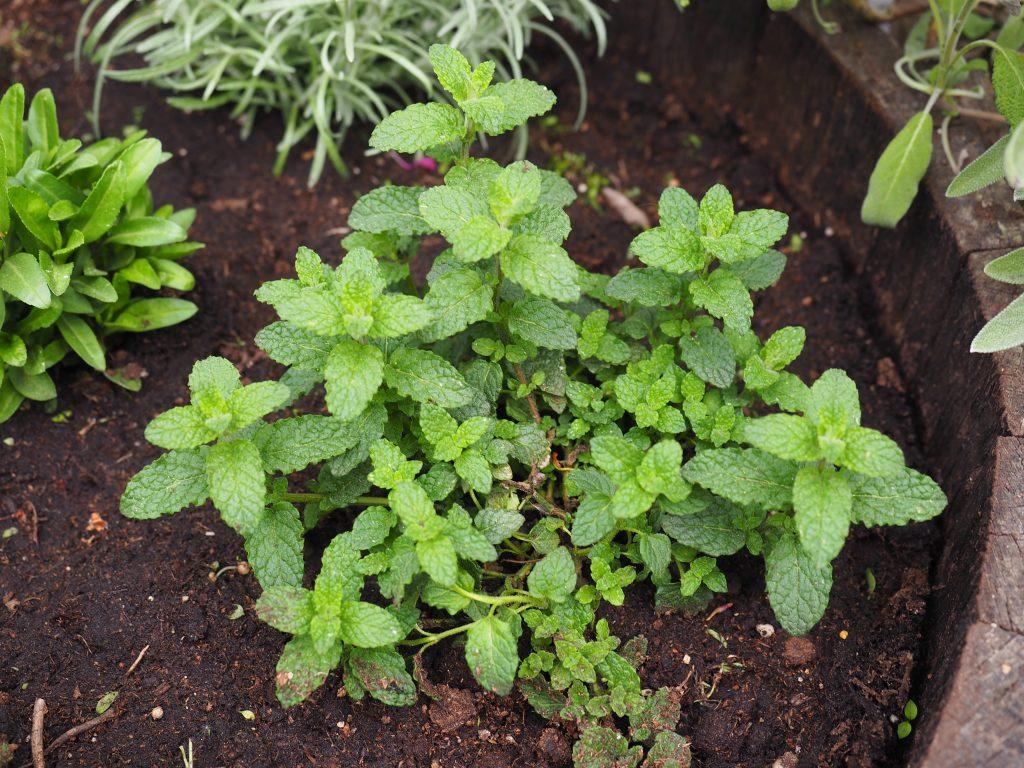 Urteplanter