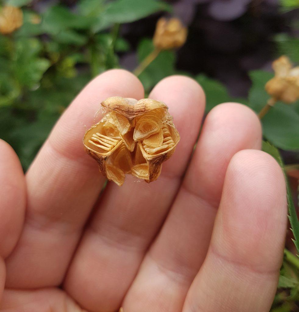 fritillaria melearis