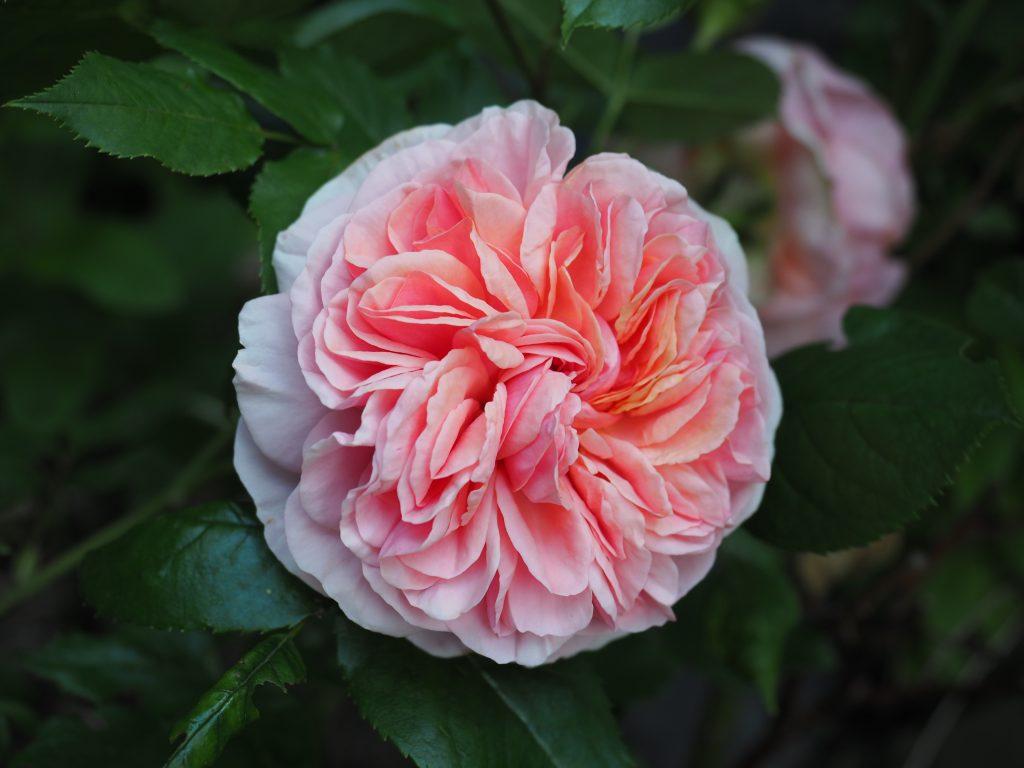 rosebusk