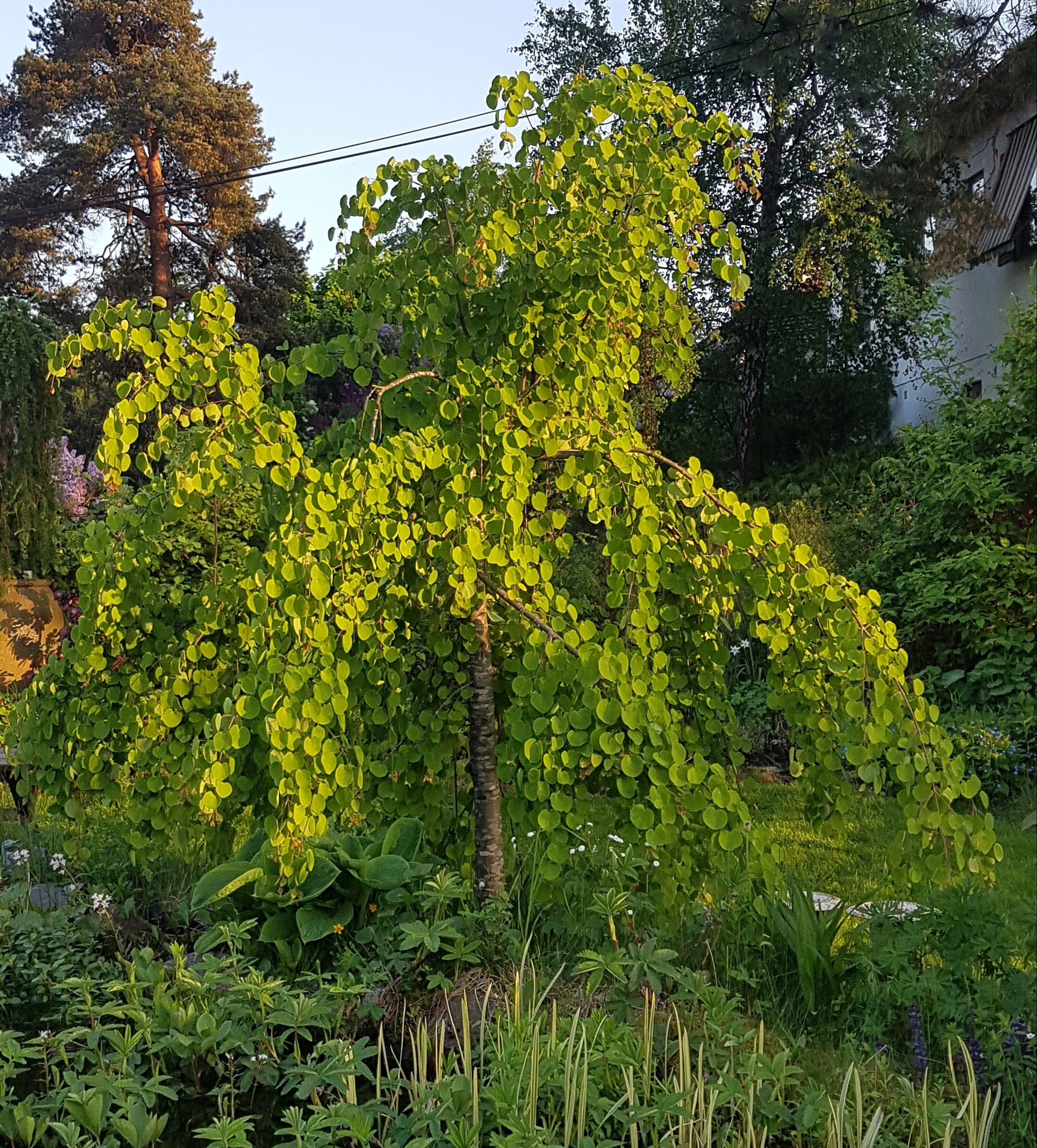 Hjertetre er kanskje min favoritt og blant topp 3 prydtrær i hagen.