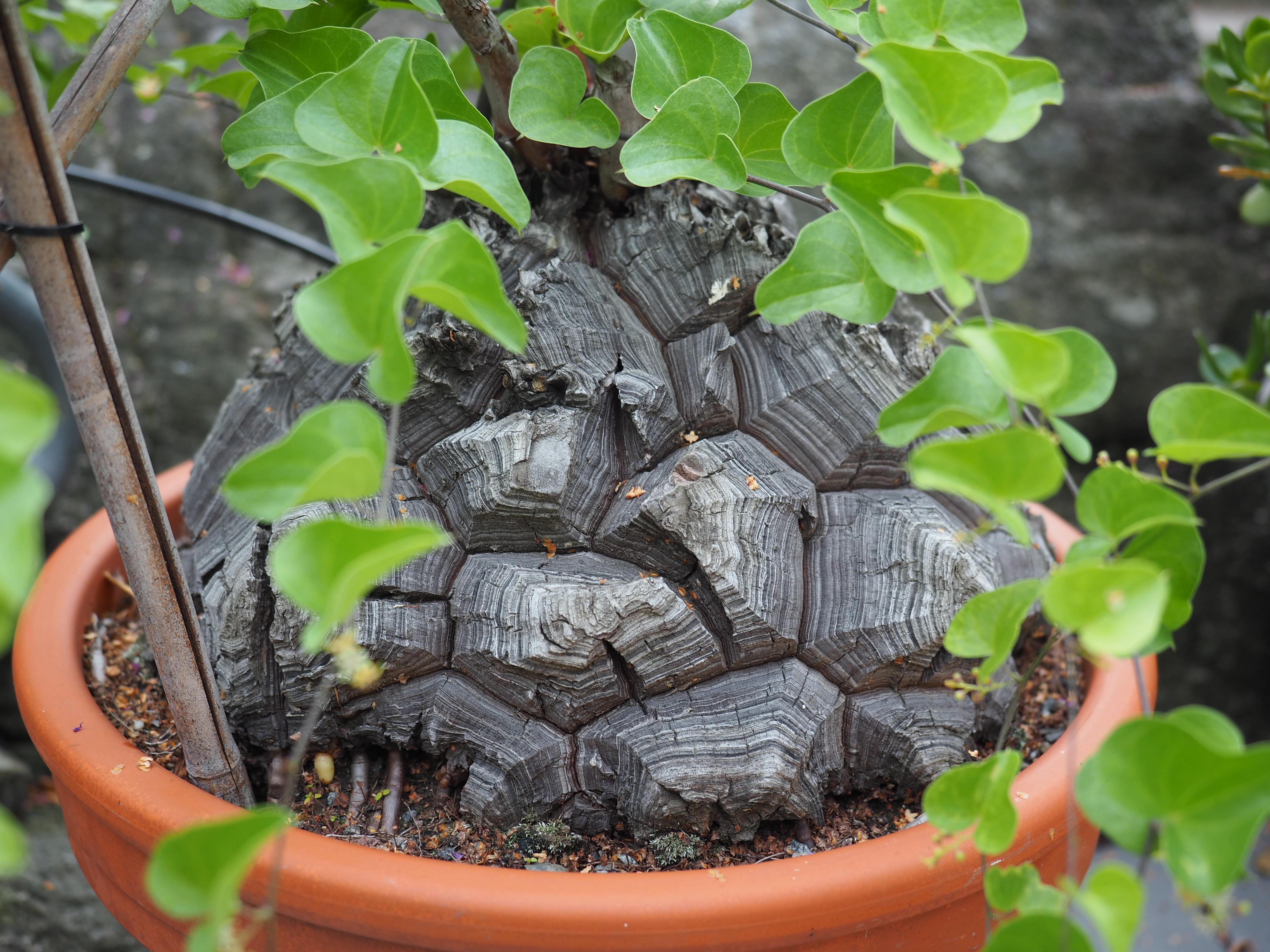 Dioscorea elephantipes er kanskje den råeste av mine potteplanter