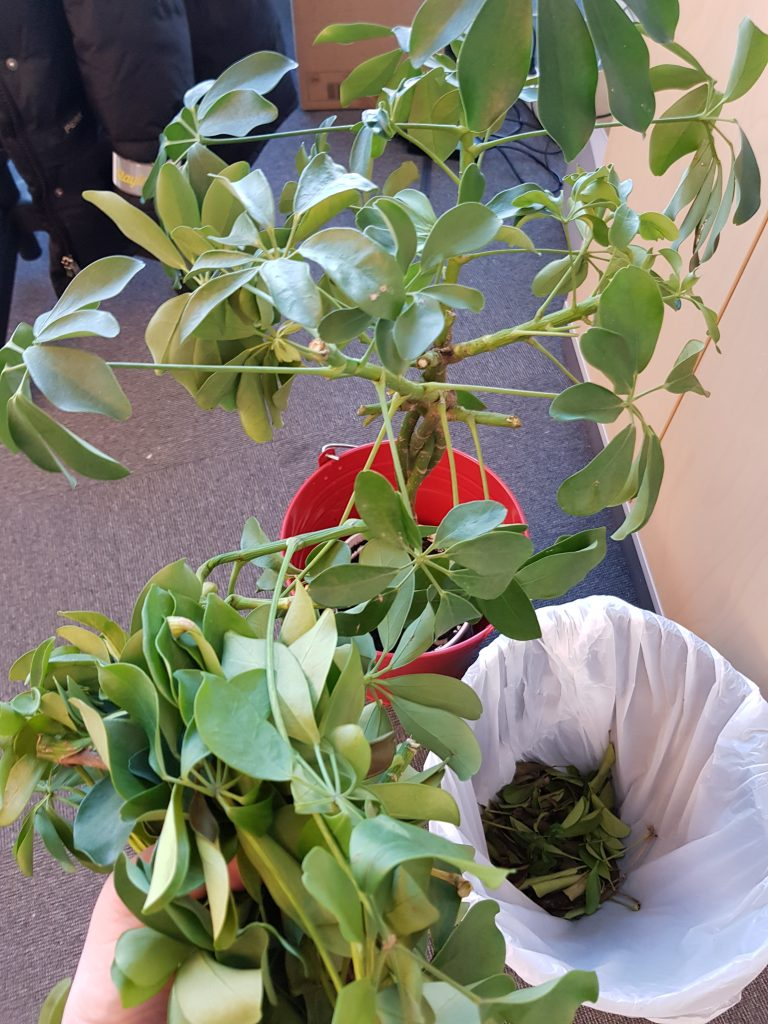 Frossen plante